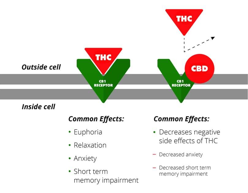 thc-cb1-receptor-diagram